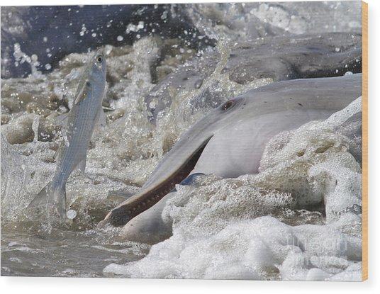 Dolphin Strand Feeding 2 Wood Print