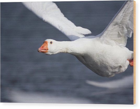 Domesticated Goose In Flight Wood Print by John Devries/science Photo Library