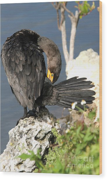 Cormorant Preens Wood Print