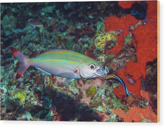 Double-lined Fusilier With Cleaner Wrasse Wood Print by Georgette Douwma/science Photo Library