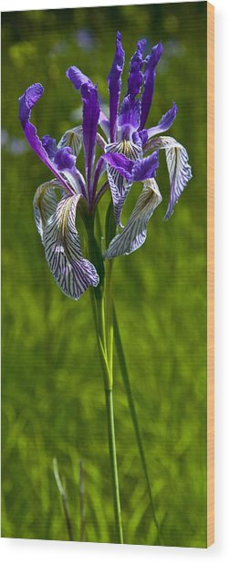 Douglas Iris Wood Print by Randolph Fritz