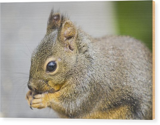Douglas Squirrel  Wood Print