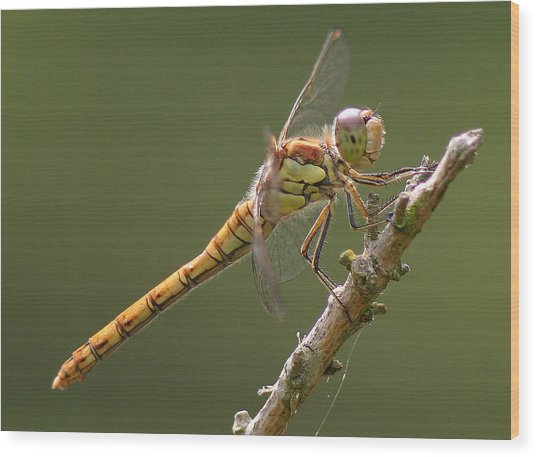 Dragonfly At Rest Wood Print