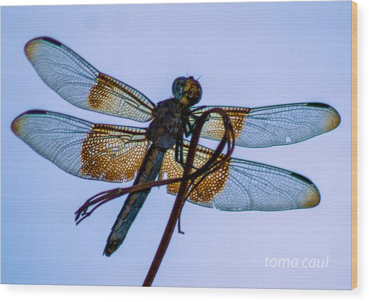 Dragonfly-blue Study Wood Print