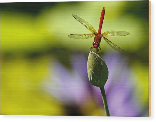Dragonfly Display Wood Print
