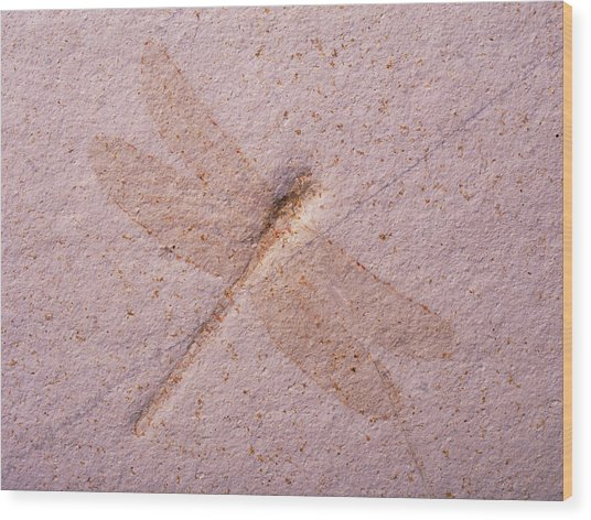 Dragonfly Fossil Wood Print by Martin Land/science Photo Library