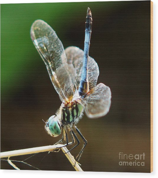 Dragonfly Headstand Wood Print