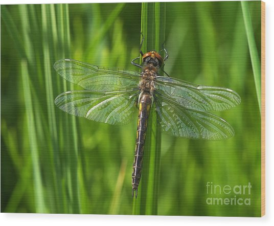 Dragonfly On Grass Wood Print
