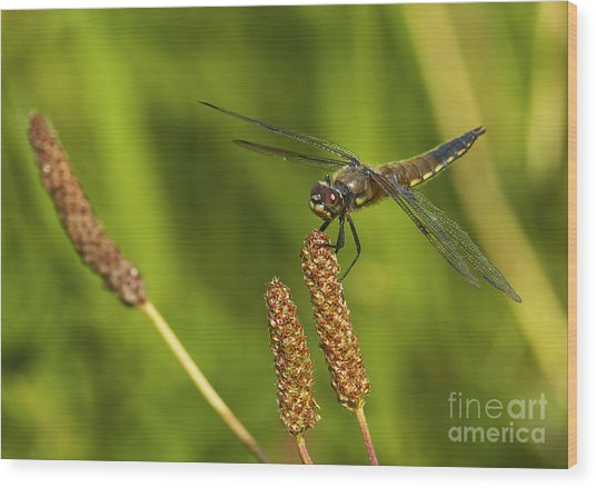 Dragonfly On Seed Pod 2 Wood Print by Sharon Talson
