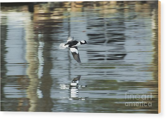 Drake Bufflehead Wood Print