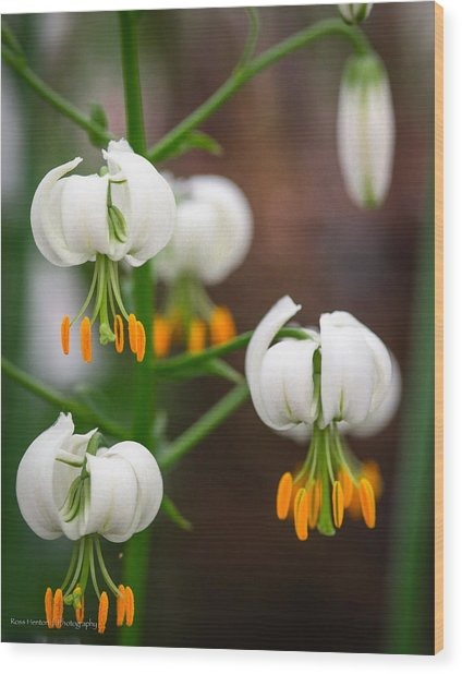 Drops Of Spring Wood Print by Ross Henton
