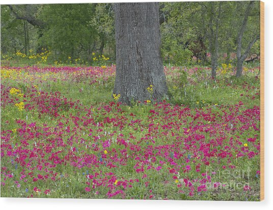 Drummonds Phlox And Crown Tickweed Central Texas Wood Print