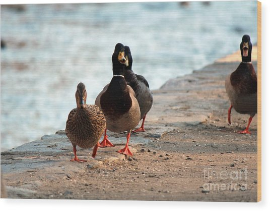 Duck Walk Wood Print