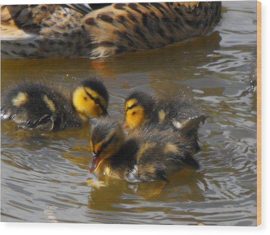 Duckling Splash Wood Print