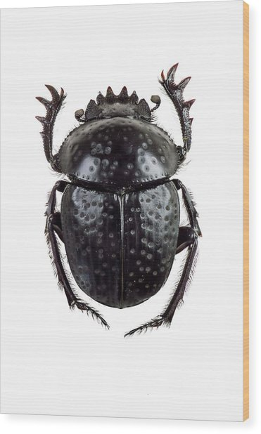 Dung Beetle Wood Print by F. Martinez Clavel