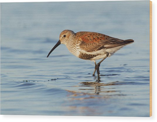 Dunlin Wood Print by Ken Archer