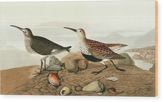 Dunlins Wood Print by Natural History Museum, London/science Photo Library