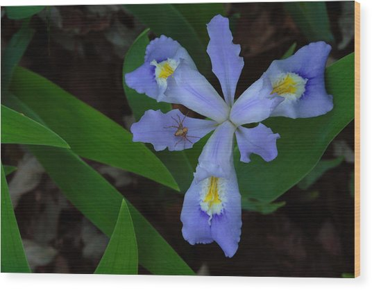 Wood Print featuring the photograph Dwarf Crested Iris With Spider by Daniel Reed