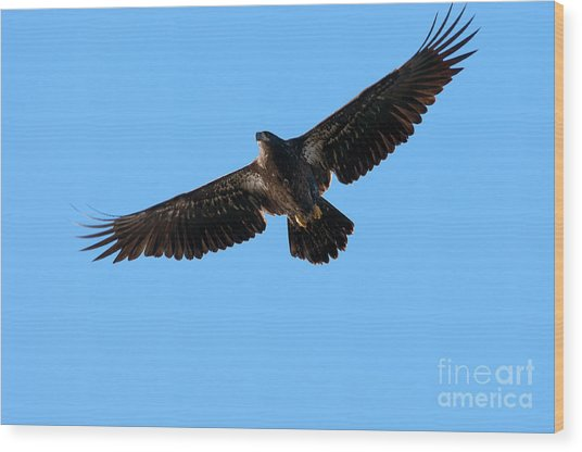 Eagle Wings Wood Print
