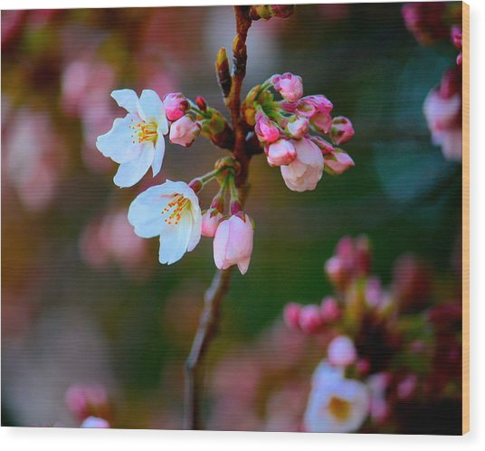 Early Cherry Blossoms Wood Print