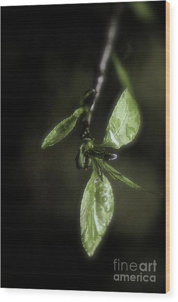 Early Spring Leaves Wood Print