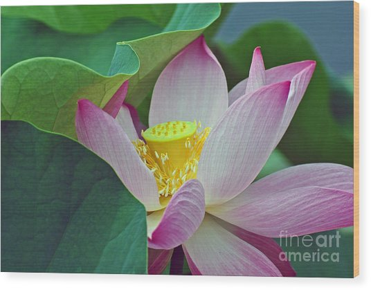 East Indian Lotus Wood Print