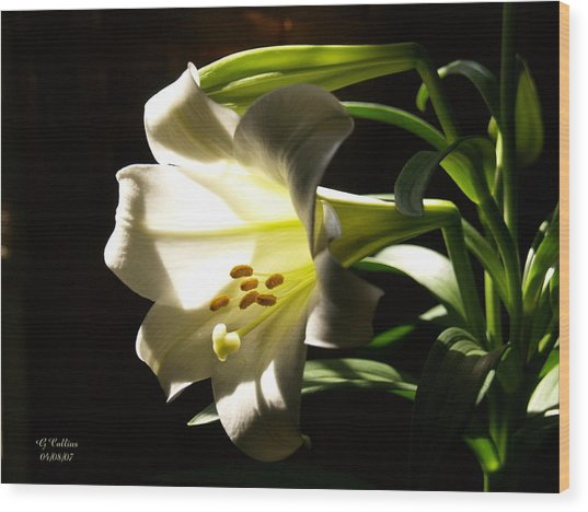 Easter Lilly Wood Print
