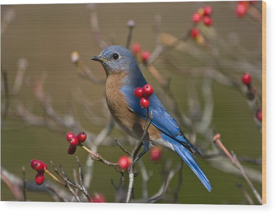 Eastern Bluebird - 2531 Wood Print