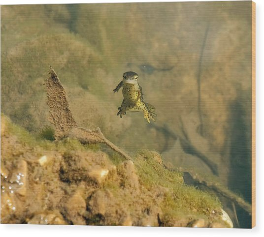 Eastern Newt In A Shallow Pool Of Water Wood Print