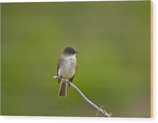 Eastern Phoebe - 4877 Wood Print