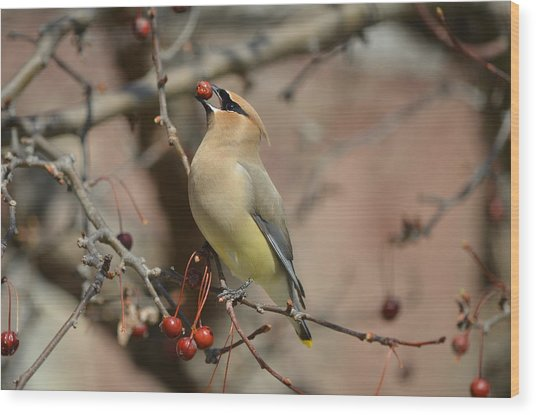 Cedar Waxwing In Winter Wood Print