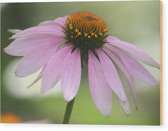 Echinacea Pink Coneflower Wood Print