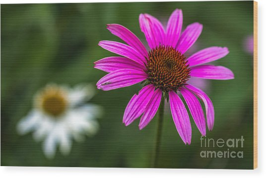 Echinacea Purpurea Wood Print