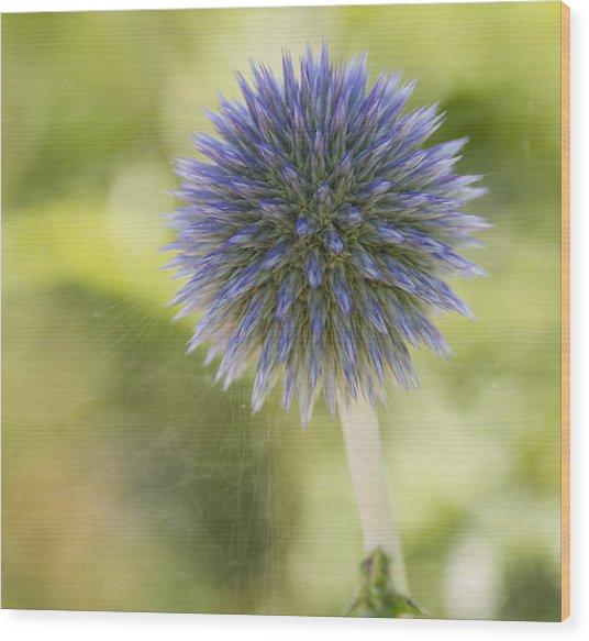 Echinops Blue Wood Print