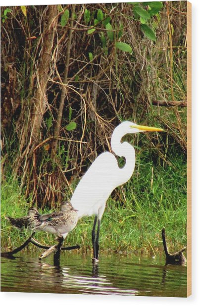 Egret And Ducks 2 Wood Print by Will Boutin Photos