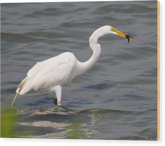 Egret At Lunch Wood Print