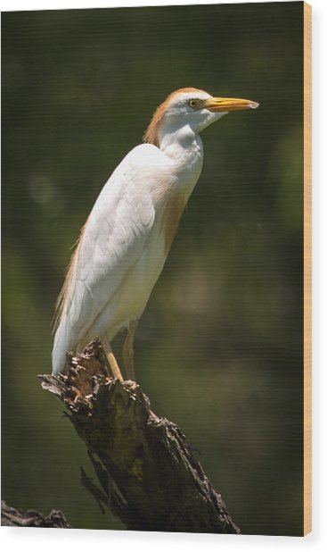 Cattle Egret Perched On Dead Branch Wood Print