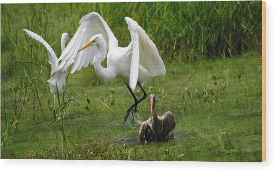 Egrets Taking Flight Wood Print