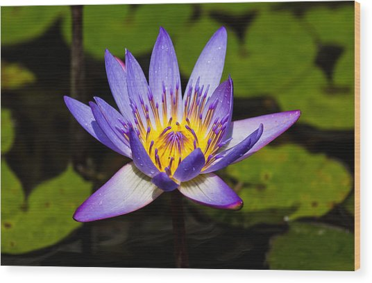 Egyptian Blue Water Lily  Wood Print