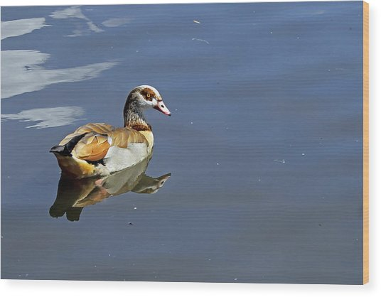 Egyptian Goose Wood Print