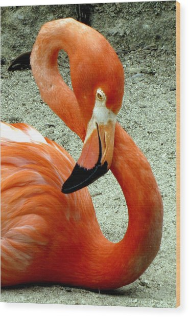 Figure Eight Flamingo Wood Print