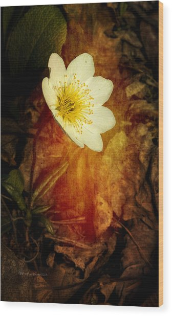 Eight Petal Dryas Wood Print