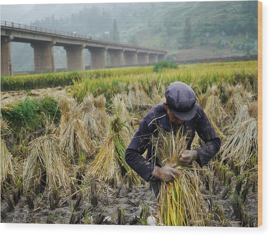 Elderly Man Harvesting Rice Near Kunming Wood Print