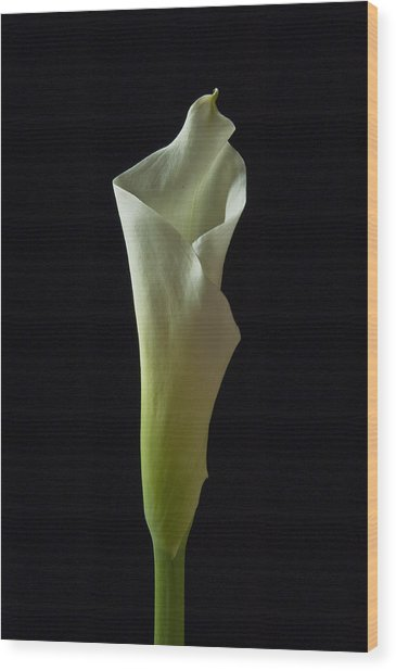 Elegance Calla Lily Wood Print