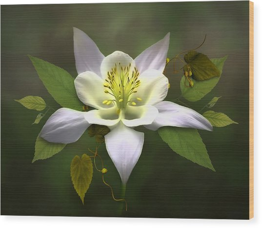 Elegant White Columbine Wood Print