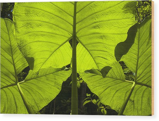 Elephant Ear Leaves In The Rainforest Wood Print
