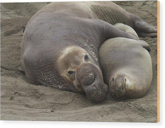 Elephant Seal Couple Wood Print