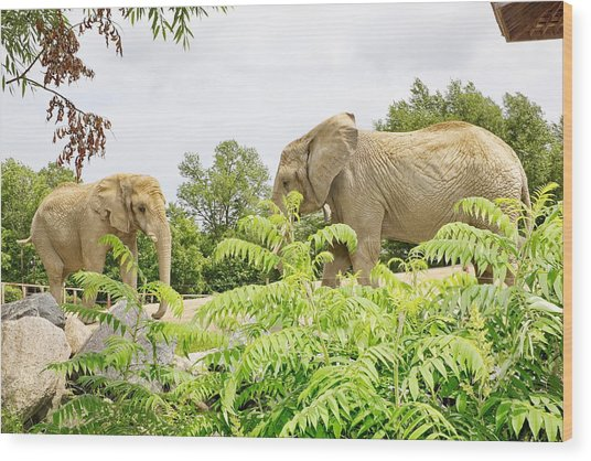 Elephants Thika And Toka At The Toronto Zoo Wood Print