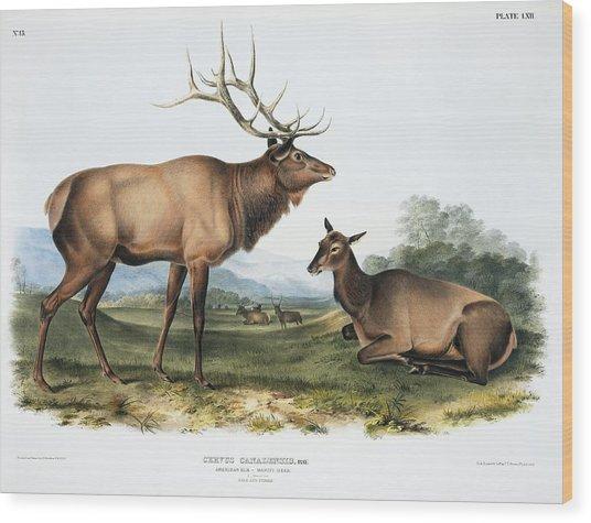 Elk, 19th Century Artwork Wood Print by Science Photo Library
