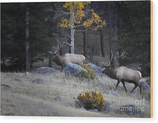 Elk Battle Stalk Wood Print